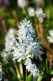 Flower hyacinth Royalty Free Stock Images