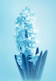 Flower  Hyacinth Royalty Free Stock Photos