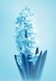 Flower  Hyacinth Royalty Free Stock Photos