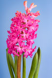 Flower hyacinth Stock Images