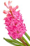 Flower hyacinth Royalty Free Stock Photography