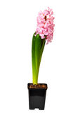 Flower a hyacinth Stock Photos