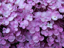 Flower - hydrangea. LIttle purple flowers royalty free stock image