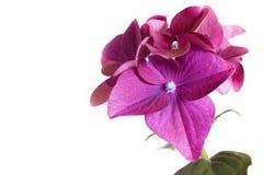 Flower Hydrangea. Stock Image