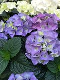 Flower hydrangea Stock Images