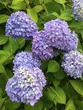 Flower Hydrangea. Photo taken in Iwakuni, Japan Stock Image