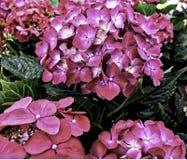 Flower, Hydrangea serrata, smaller bush size, Pink. Flower, Hydrangea serrata, smaller bush size. Native to mountainous regions of Japan and Korea stock image