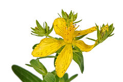 Flower of Hypericum (Latin Hypericum) Royalty Free Stock Photos