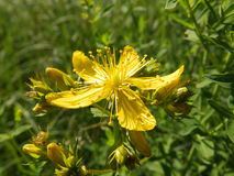 Flower Hypericum perforatum. Beauyiful flower Hypericum perforatum yellow green Royalty Free Stock Photo