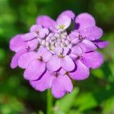 Flower Iberis umbellate (lat. Iberis umbellata) stock photos