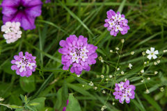 Flower Iberis umbellate Royalty Free Stock Photography