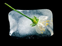 Flower in ice cube. On a black background Stock Images