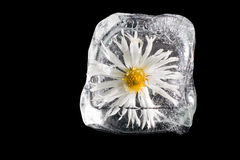 Flower in the ice, isolated stock image