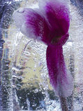 Flower in the ice Stock Image