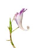 Flower (Impatiens) 4 Royalty Free Stock Photo