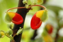 Flower Impatiens niamniamensis, Congo Cockatoo Stock Photos