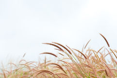 The flower of Imperata cylindrical Beauv grass Stock Photography