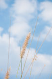 The flower of Imperata cylindrical Beauv grass Royalty Free Stock Images