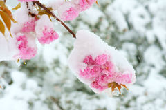 Flower In Snow Royalty Free Stock Image