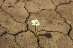 Flower In The Desert Is Dry Land Daisy.