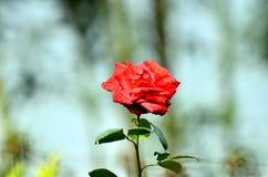 Flower Royalty Free Stock Photo