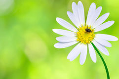 Flower with insect. White flower with insect in the garden stock images