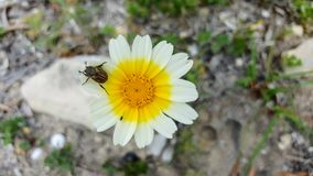 Flower with insect. Daisy flower at the side of the road Stock Photo