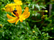 Flower and insect. Yellow Flower and insect Royalty Free Stock Photo