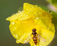 Flower with an insect. Insect on yellow flower with drops of dew royalty free stock photo