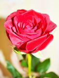 rose is a red Royalty Free Stock Image