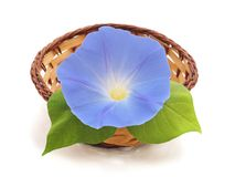 Flower ipomoea blue. Flower ipomoea blue on white background stock images