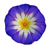 Flower of ipomoea. Flower of violet ipomoea, isolated on white closeup royalty free stock photo