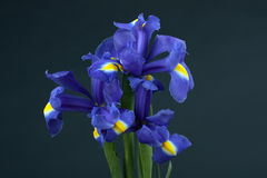 Flower iris. On black background Royalty Free Stock Photography