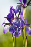 Flower iris Royalty Free Stock Photo