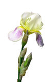 Flower of an iris Royalty Free Stock Photo