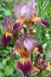 Flower of Iris. Flowering Iris royalty free stock photography