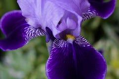 Iris flower. royalty free stock images