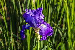 Flower of the iris in the garden in the glare of the setting sun.  Stock Images