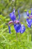 Flower of iris (Iris setosa) Stock Images