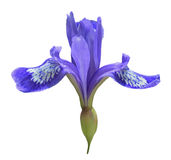 Flower of iris (Iris uniflora) 5 Stock Photos