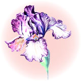 Flower of Iris on a pink background. Vector watercolor Royalty Free Stock Image