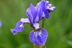 Flower of Iris sibirica, blue king. Flower of Iris sibirica called as blue king Stock Photography