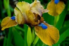 Flower iris Stock Photos