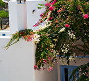 Flower   in the isle of greece antorini europe old house and whi. Isle of       greece antorini europe old house and white color Royalty Free Stock Images
