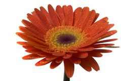 Flower Isolated Royalty Free Stock Photo
