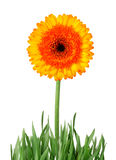 Flower isolated - clipping path Stock Photo