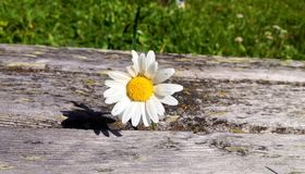 Flower. The isolated flowers on the wood stock photo
