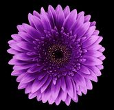Flower isolated gerbera pink-purple on the black background. Closeup. For design royalty free stock photos