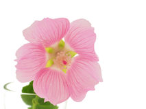 A flower isolated on the white background. Royalty Free Stock Photo