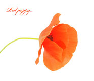 A flower isolated on the white background. Royalty Free Stock Photography